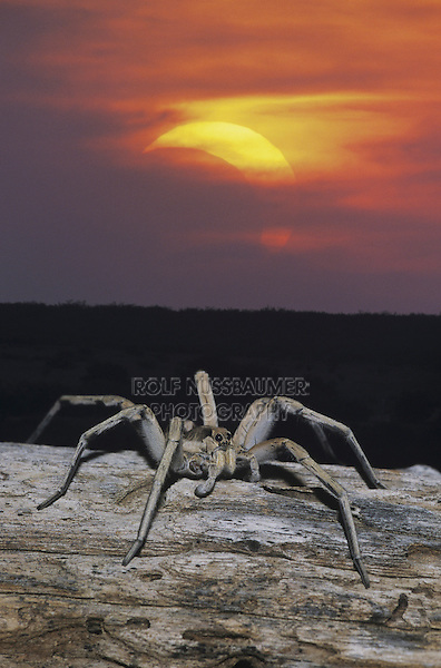 Wolf Spider (Lycosidae), adult on log during partial solar eclipse, Starr County, Rio Grande Valley, Texas, USA
