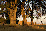 Oak trees and barb wire fence in the golden hills on a summer morning, Amador Country, Calif.