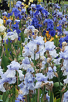 Bearded Irises in shades of blue
