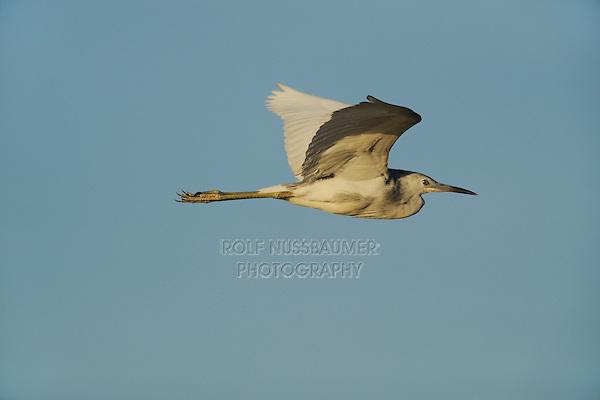Little Blue Heron (Egretta caerulea), immature in flight , Fennessey Ranch, Refugio, Coastal Bend,Texas Coast, USA