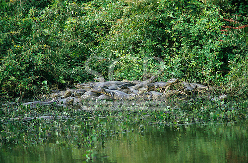 Pantanal, Brazil. Large group of caymans at the edge of a river with forest behind. Mato Grosso state, wetlands reserve.