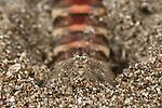 Mantis shrimp (Lysiosquilla sp.)