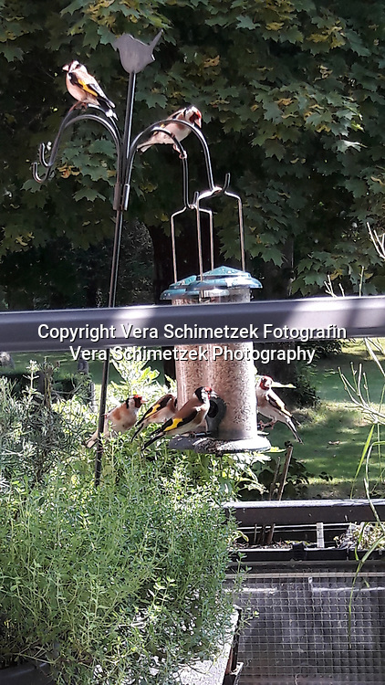 vorn Zitronenthymian, hinten: Stieglitze (nicht im Lieferumfang enthalten :-))<br /> <br /> Europe, Germany, Ruhr Area, Wetter<br /> <br /> Europa, Deutschland, Ruhrgebiet, Wetter<br /> <br /> [MODEL RELEASE: NO, Copyright: Vera Schimetzek, Bornstrasse 5, 58300 Wetter, Germany, phone: 0049.2335.970650, mobil: 0049.151.21220918, www.schimetzek-foto.de, schimetzek@web.de,<br /> Die Verwendung des Fotos ist honorarpflichtig. Keine Verwendung ohne Genehmigung.  Es gelten die AGB.<br /> For use the general terms and conditions are mandatory. No use without permission. The use of the image is subject to a fee.]