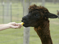 Barb Wille feeds an apple to one of her alpacas Sunday, July 2, 2006, in Valley City, Ohio. Barb, who raises 23 alpacas with her husband Ed, say they have earned $200,000 since starting up in 1994 by selling alpacas, winning stud fees and housing 12 of the furry creatures for $3 a day.<br />