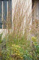 Little blue stem (Schizachyrium scoparium) native grass in Wisconsin meadow garden in fall (autumn) garden