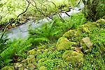 Bracken Fern (Pteridium sp) blowing in the wind along creek, Glen Isla, Scotland, United Kingdom