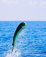 mahi mahi, dolphin fish, or dorado, Coryphaena hippurus, bull leaping, Kona, Big Island, Hawaii, USA, Pacific Ocean