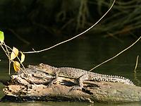 saltwater crocodile, Crocodylus porosus, juvenile, basking in the sun on the Nilwala River, Sri Lanka