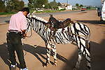 MAN WITH PAINTED DONKEY to RESEMBLE a ZEBRA PREPARES to MOUNT