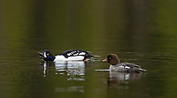It was nice seeing a male Barrow's Goldeneye putting on a courtship display at Sylvan Lake.