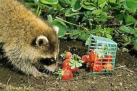 MA25-157z  Raccoon - young raccoon exploring garden, finding strawberries - Procyon lotor