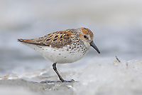Adult Western Sandpiper in breeding plumage (Calidris mauri) foraging on river ice. Seward Peninsula, Alaska. May.