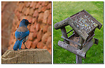 Bluebird and rustic birdfeeder. .  John leads private, wildlife photo tours throughout Colorado. Year-round.