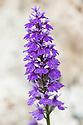 Dactylorchis majalis (syn. Dactylorhiza majalis). Common names include: Western marsh orchid, Broad-leaved marsh orchid, Fan orchid, Common marsh orchid, Irish marsh orchid.