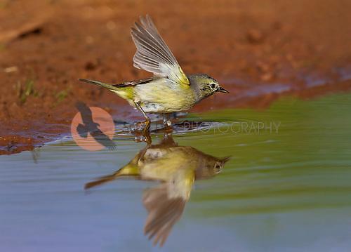 Orange-crowned warbler in puddle