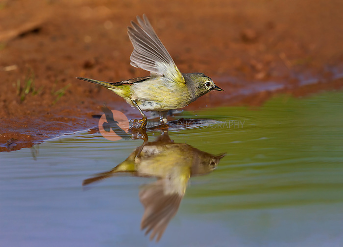 Orange-crowned Warbler with wings aloft and full reflection in puddle