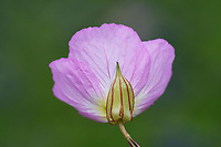 Pink evening primrose, Texas