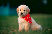 Golden retriever puppy wearing a red bandana and sitting in the grass.