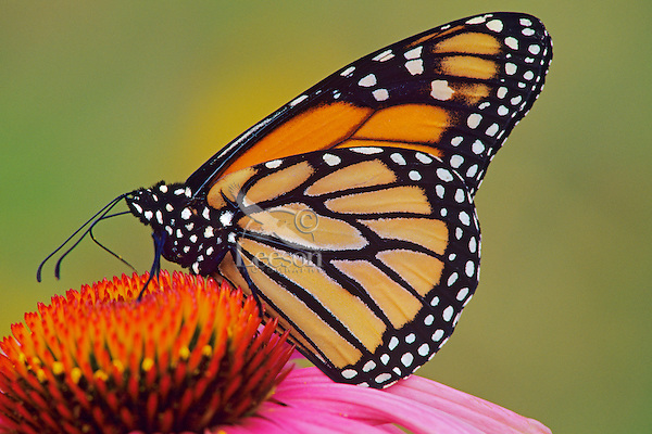 Monarch butterfly (Danaus plexippus) nectaring on coneflower.