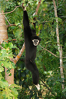 White-handed Gibbon (Hylobates lar), hanging from a rainforest tree ,Thailand