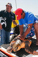 Turtle researchers from the NGO Pro Caguama study and capture the critically endangered Loggerhead Turtle (Caretta caretta) from the town of Puerto Lopez Mateos. As many as 17 of these turtles wash up dead as by-catch in the gill-net and long-line fisheries each day along the Pacific Coast beaches of Isla Magdalena. The group is trying to educate fisherman to the devistation this is causing in Loggerhead populations in the North Pacific Ocean