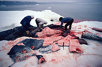 Inuit hunters butcher a Narwhal, Monodon monoceros, The skin, a great source of vitamins, is a delicacy. N.W. Greenland, Arctic