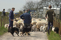 Moving ewes and lambs, sheep, Whitewell, Lancashire.