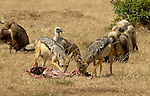 African Black-Backed Jackals (Canis mesomelas) and Vultures (Gyps africanus) on the Masai Mara National Reserve safari in southwestern Kenya.