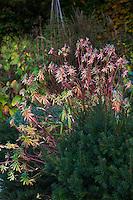 Euphorbia 'Excaliber', spurge in fall color in mixed border garden
