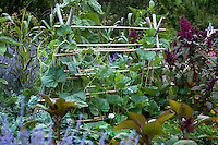 Rustic, bamboo A-frame trellis support for squash in edible landscape garden with flowers