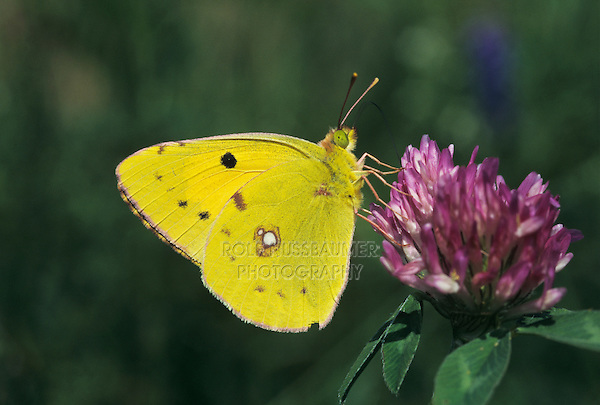 Berger's Clouded Yellow, Colias alfacariensis, male drinking on Red clover (Trifolium pratense) , Rheindelta, Germany, May 1998
