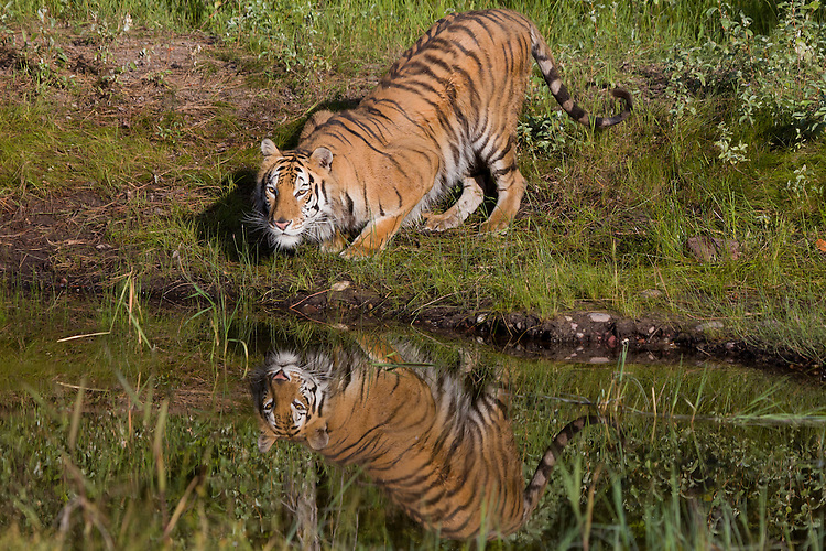 Tiger with reflection crouching beside a pond - CA