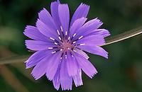 A blue flower.