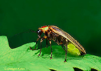 1C24-007z   Firefly - abdomen lighted up - Photuris pennsylvanicus