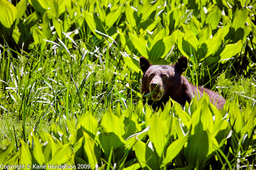 An American Black Bear, Ursus americanus, has its midmorning snack in Round Meadow in Sequoia National Park, California.  Photo by Karie Henderson ©2009