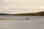 In the fall, a lone grizzly bear, Ursus arctos horribilis, searches the shores for a salmon dinner.