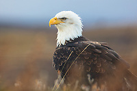 Bald Eagle at Izembek NWR, Alaska.