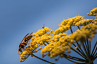 A European Paper Wasp, Polistes dominula, exploring a yellow sweet fennel flower on a warm summer afternoon along the Martin Luther King Jr. Regional Shoreline in Oakland, California.