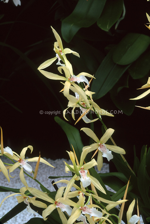 Miltonia flavescens, The yellowish Miltonia, orchid species from Brazil, Argentina, Peru