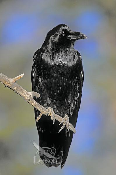 Common Raven. Fall. North America. (Corvus corax)...