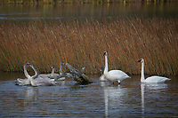 Trumpeter Swan family @ Anchorage's Potter Marsh nice light.