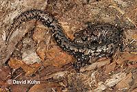 0616-0849  Weller's Salamander, Plethodon welleri  © David Kuhn/Dwight Kuhn Photography