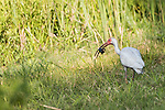 Damon, Texas; an adult white ibis with a crawfish in its bill, captured at the edge of the slough