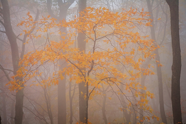 Autumn beech in cloud, Unaka Mountain Wilderness