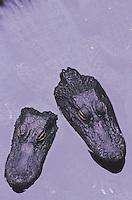 American Alligator (Alligator mississipiensis), adults, Myrtle Beach, South Carolina, USA