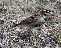 Male chestnut-collared longspur
