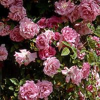 Detail of a pink rose bush