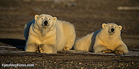 Polar bear snear the Beaufort Sea in Alaska Alaska Polar Bear Photography Prints