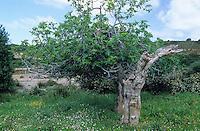 Echte Feige, alter Einzelbaum, Ficus carica, Fig