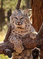 Bobcat - Arizona<br /> (captive)